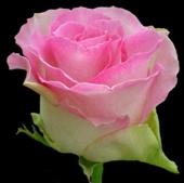 Роза Malibu (70-80 см)