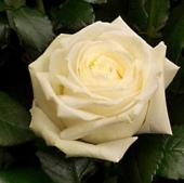 Роза Avalanche (70-80 см)