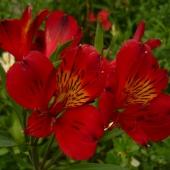 Альстромерия красная